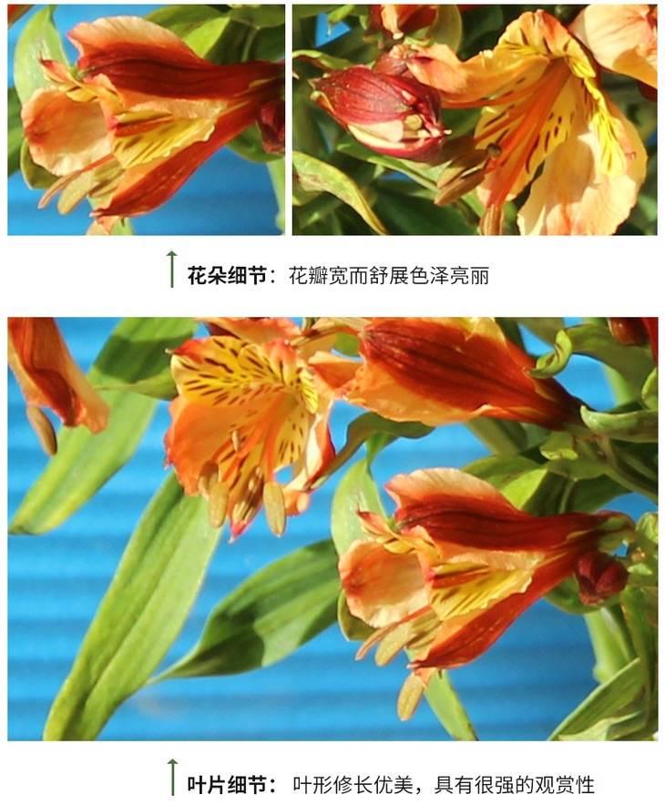 【水仙百合】六出花,翩翩起舞的花之仙子,花开后清新美丽
